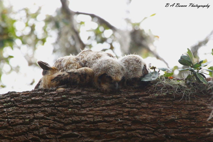 sleeping baby owls face down 1 5ef2f3bfdfbab 700