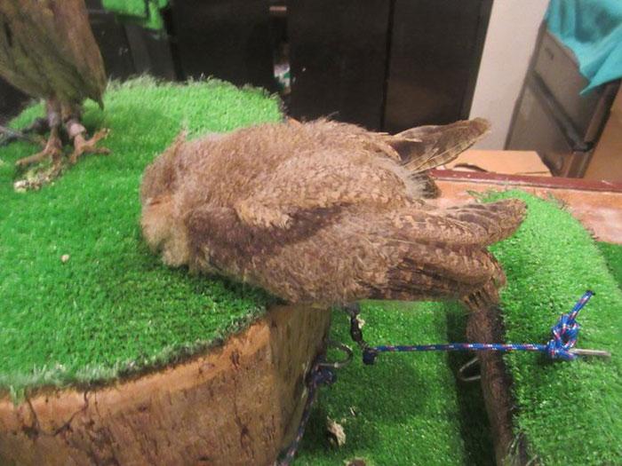 sleeping baby owls face down 25 5ef306a2863a4 700