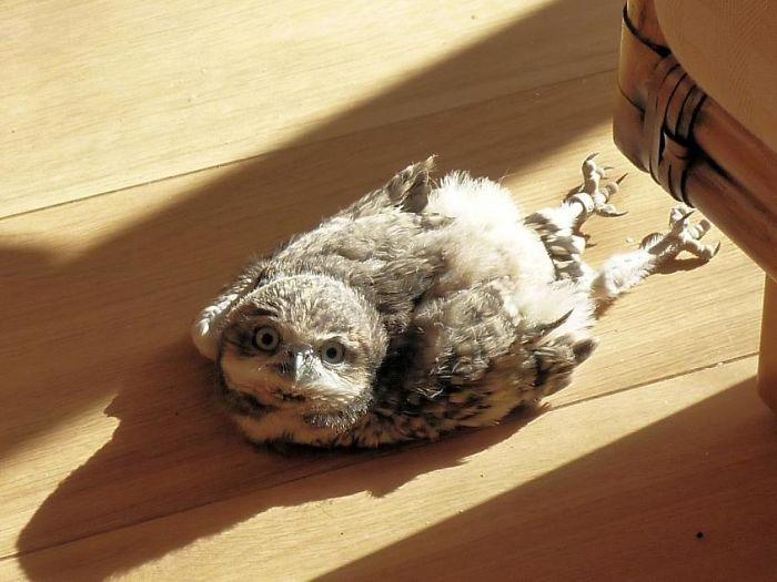 sleeping baby owls face down 3 5ef2f482c3a6f 700