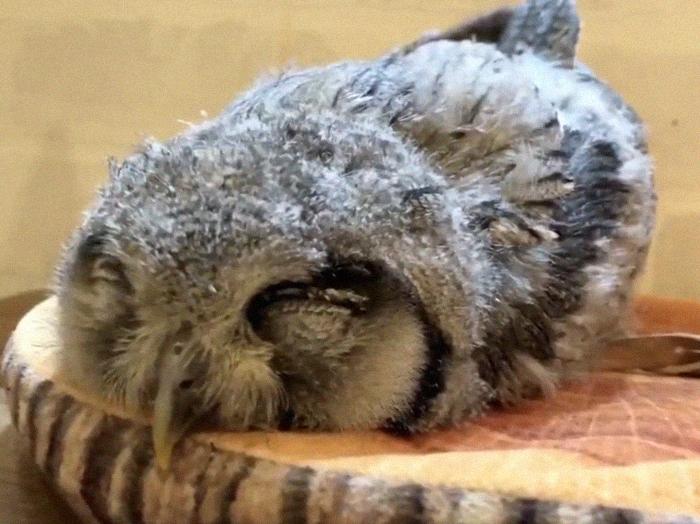 sleeping baby owls face down 6 5ef2f606943e6 700