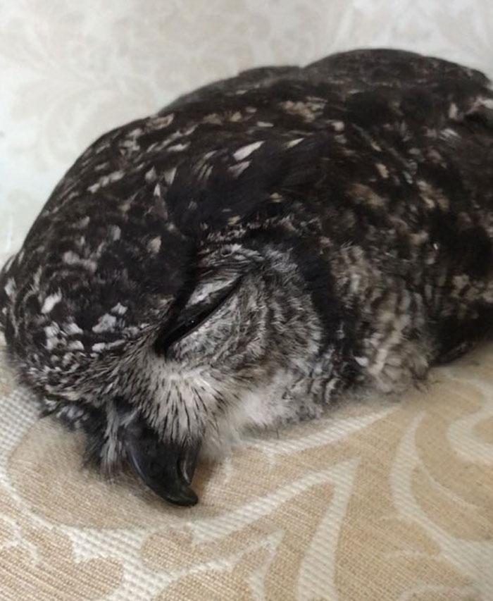 sleeping baby owls face down 7 5ef2f63b2030d 700